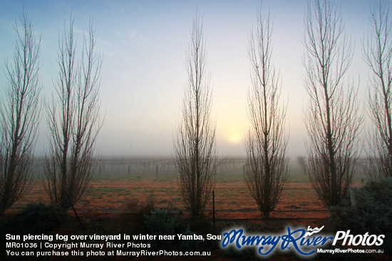 Sun piercing fog over vineyard in winter near Yamba, South Australia