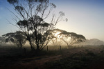 Foggy morning in the Mallee at the Murray-Sunset National Park, Victoria