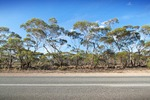 Mallee trees near Sedan, South Australia