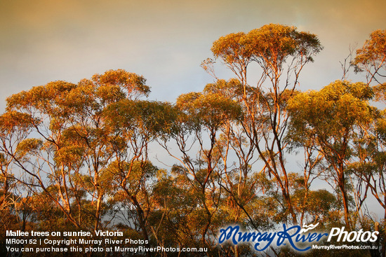 Mallee trees on sunrise, Victoria