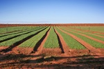 Row of crops at Wemen near Robinvale, Victoria
