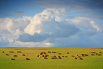 Grazing sheep in the Mallee, South Australia