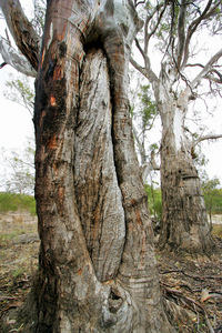 Aboriginal canoe tree - Hattah National Park, Victoria