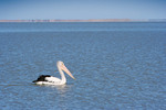 Pelican on Lake Albert, Meningie, South Australia