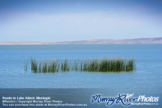 Reeds in Lake Albert, Meningie