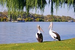 Pelicans at Mannum, South Australia