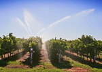 Irrigation of vines in Waikerie, South Australia
