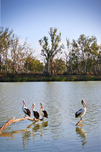 Pelicans at Loxton, South Australia