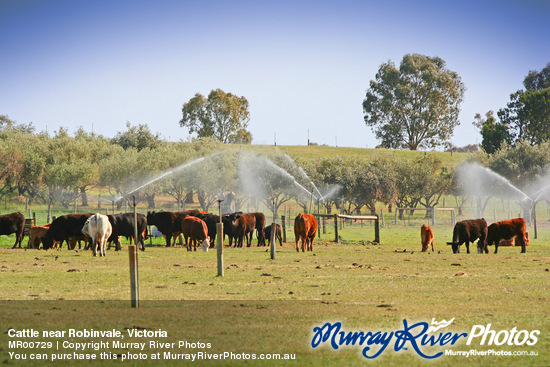 Cattle near Robinvale, Victoria