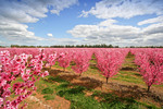 Apple blossoms, Yarrawonga, Victoria