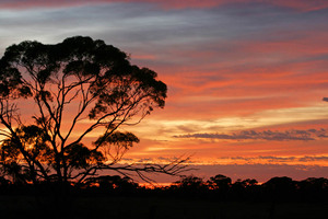Mallee trees on sunrise