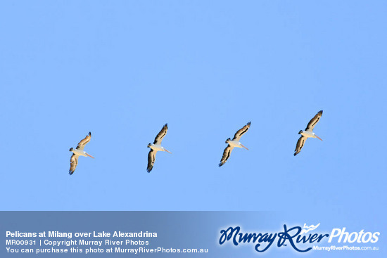 Pelicans at Milang over Lake Alexandrina