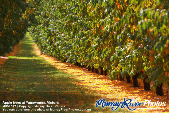 Apple trees at Yarrawonga, Victoria