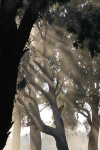 Mist filtering through trees on a Corowa morning