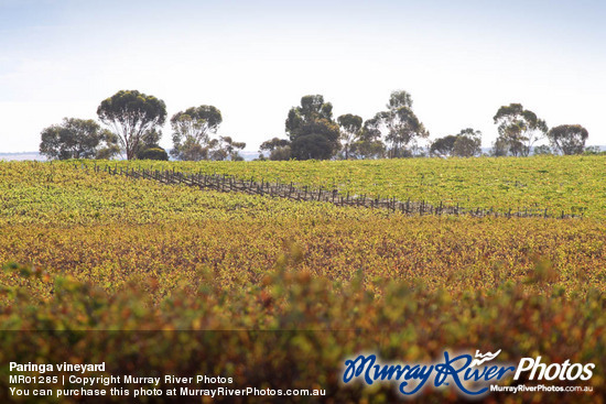 Paringa vineyard