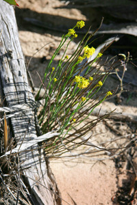 Flowers in the Mallee