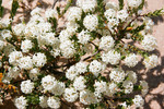 Heath Rice-flower - Pimelea microcephala