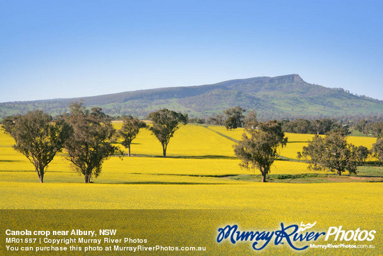 Canola crop near Albury, NSW