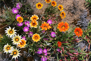 Roadside flowers at Karoonda, SA