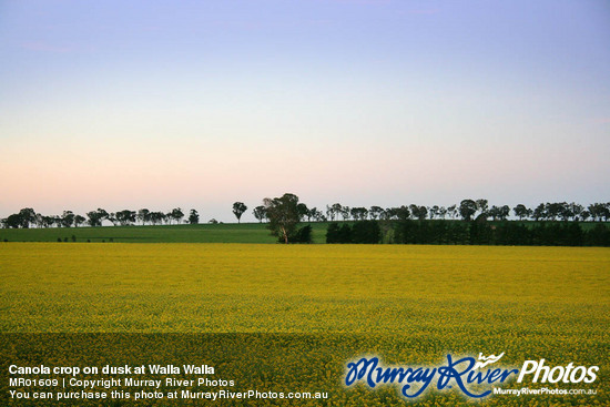 Canola crop on dusk at Walla Walla