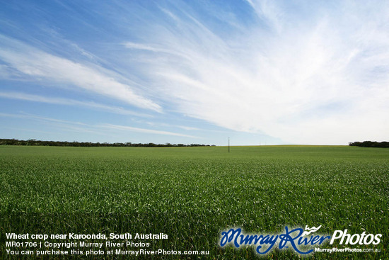 Wheat crop near Karoonda, South Australia