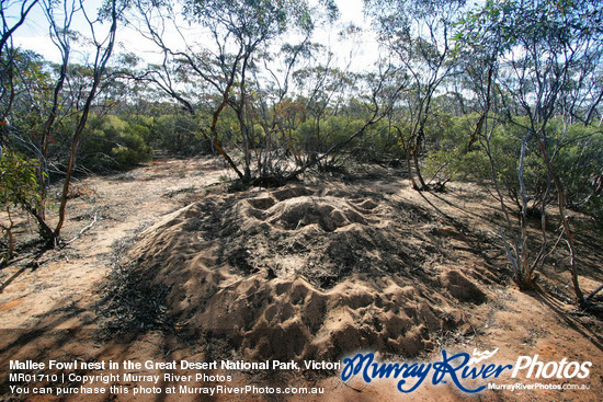 Mallee Fowl nest in the Great Desert National Park, Victoria