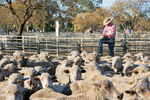 Swan Hill stockyards, Victoria
