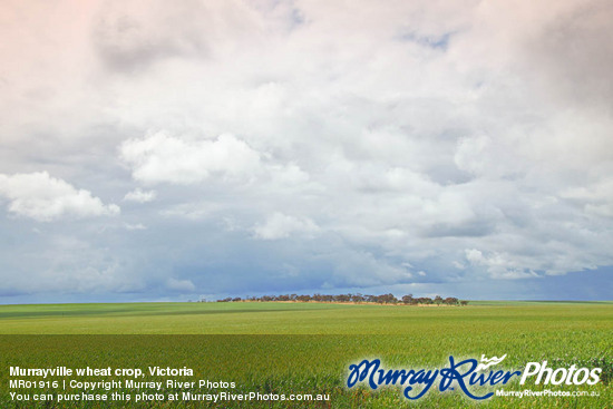 Murrayville wheat crop, Victoria