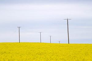 Canola crop near Tutye, Victoria