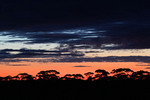 Mallee silohette on sunset near Pinnaroo, South Australi