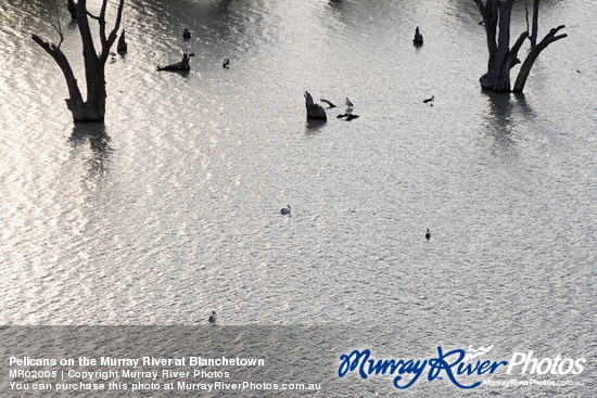 Pelicans on the Murray River at Blanchetown