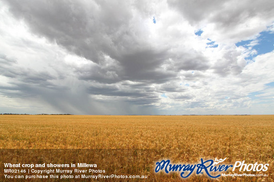 Wheat crop and showers in Millewa