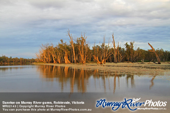 Sunrise on Murray River gums, Robinvale, Victoria