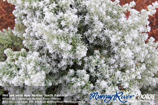 Wet salt bush near Murtho, South Australia