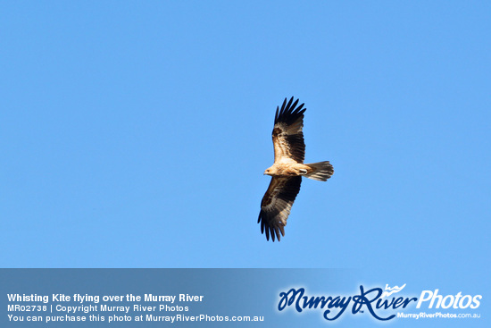 Whisting Kite flying over the Murray River