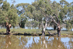Flooded backwaters along the Murray River