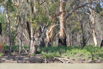 Chowilla Game Reserve river gums
