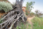 Old River Red Gum roots at Wilabalangaloo