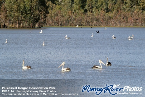 Pelicans at Morgan Conservation Park
