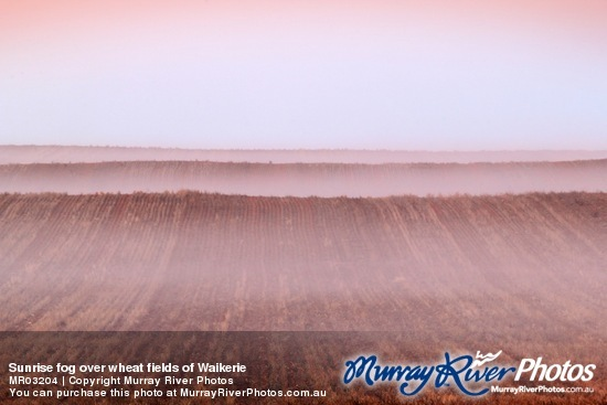 Sunrise fog over wheat fields of Waikerie