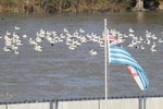 Lower Murray River flag and Pelicans at Lock 1, Blanchetown