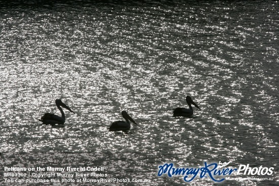 Pelicans on the Murray Rver at Cadell