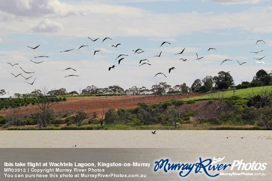 Ibis take flight at Wachtels Lagoon, Kingston-on-Murray