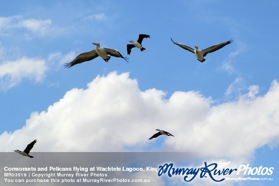 Cormorants and Pelicans flying at Wachtels Lagoon, Kingston-on-Murray