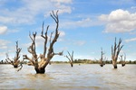 Cormorant nests at Wachtels Lagoon, Kingston-on-Murray