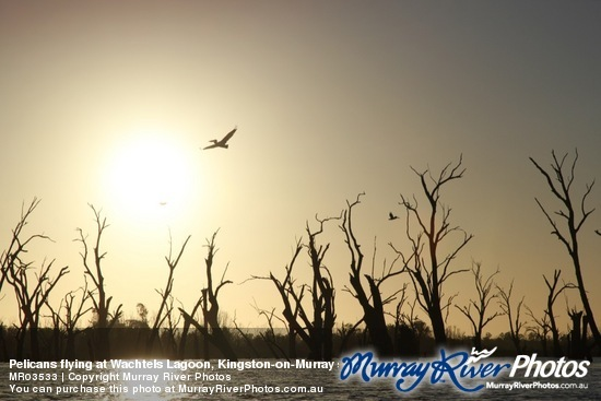 Pelicans flying at Wachtels Lagoon, Kingston-on-Murray sunrise