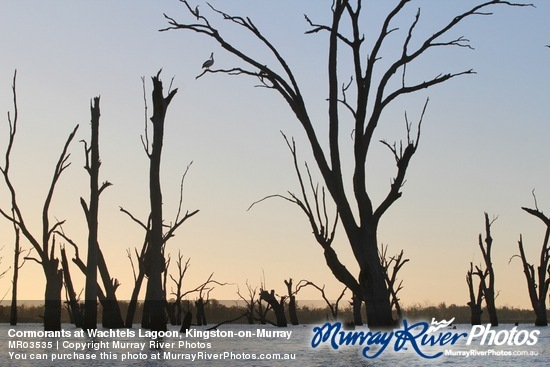 Cormorants at Wachtels Lagoon, Kingston-on-Murray