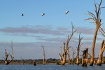 Pelicans flying at Wachtels Lagoon, Kingston-on-Murray