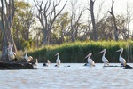 Pelicans at Wachtels Lagoon, Kingston-on-Murray