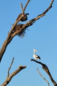 Pelican and nest at Wachtels Lagoon, Kingston-on-Murray